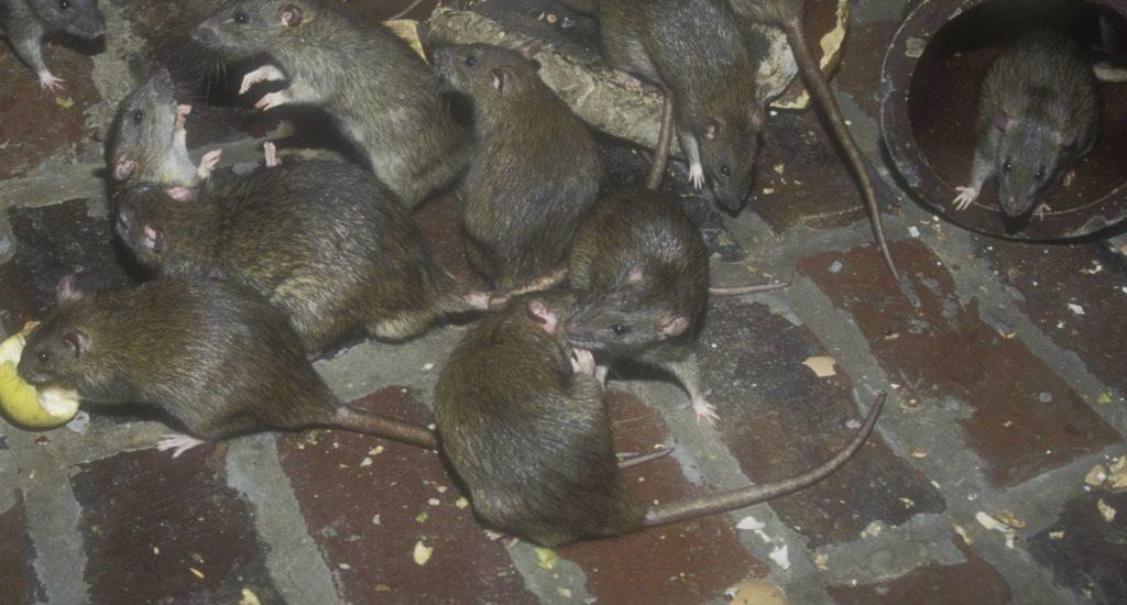 уничтожение крыс в Железнодорожном